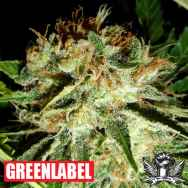 Green Label Seeds Everest Bud